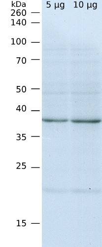 western blot using anti-SBP antibodies in Chlamydomonas reinhardtii