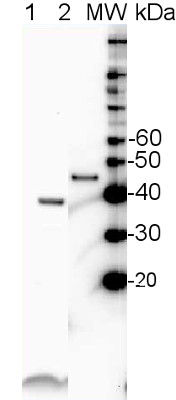 western blot using anti-SBP antibodies