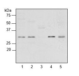 western blot using anti-plant RPL2 antibodies