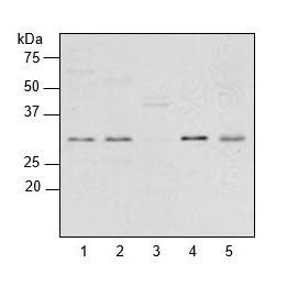 western blot using anti-plant RPL2 antibodies