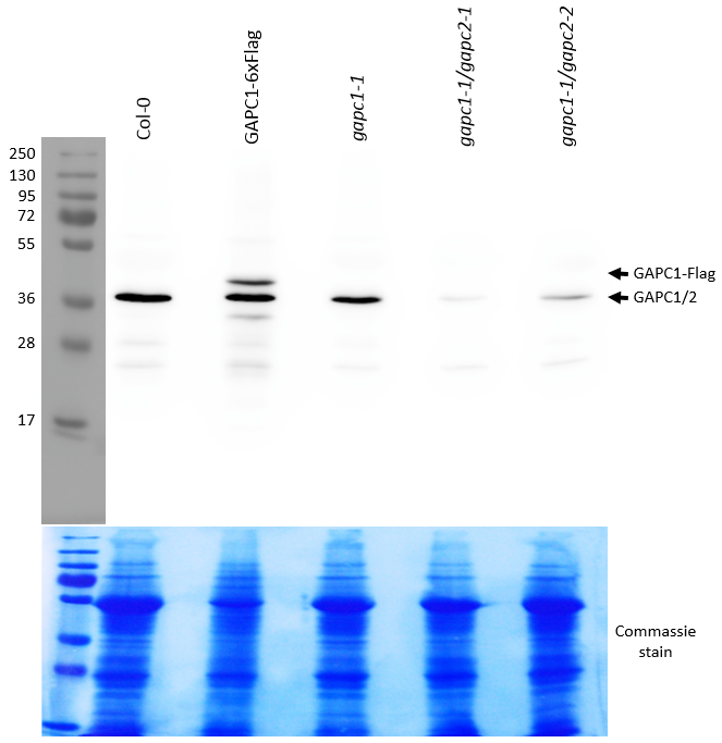Western blot using anti-GAPC1/2 antibody