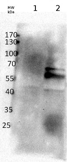 western blot using anti-beta amylase 1 antibodies