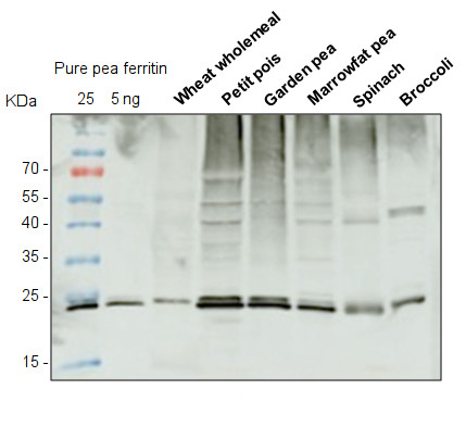 western blot using anti-ferritin antibodies on various plant species