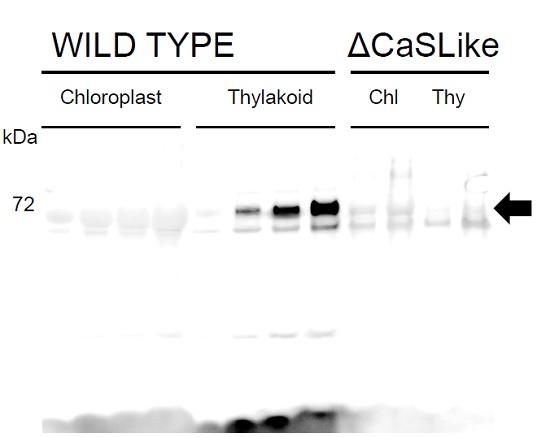 western blot using anti-ATCasLike antibodies