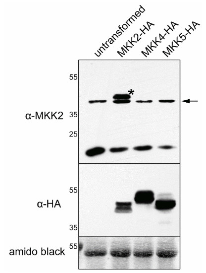 western blot using anti-MKK2 antibodies