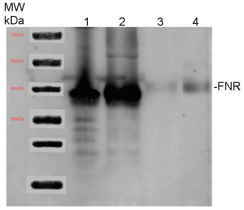 western blot using anti-FNR antibodies
