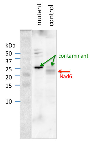western blot using plant anti-NAD6 antibodies