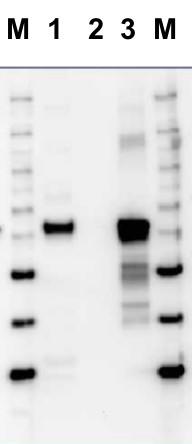western blot using anti-RbcL form II antibodies