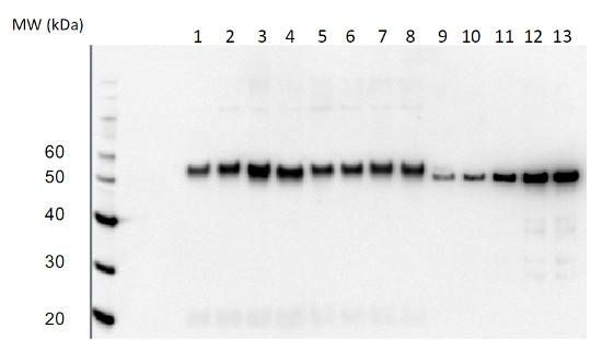 Western blot using RbcL II antibody on dinoflagelates