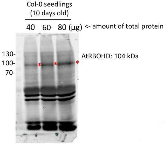 western blot using anti-Arabidopsis RBOHD antibodies