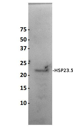 western blot using anti-Arabidopsis HSP23.5 antibody