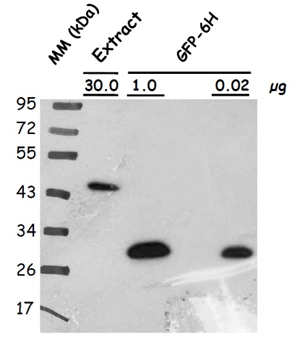 western blot on plant protein using affinity purified anti-GFP antibodies