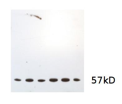 western blot using anti-algal catalase antibodies