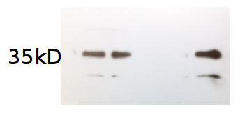 western blot using anti-algal AOX antibodies