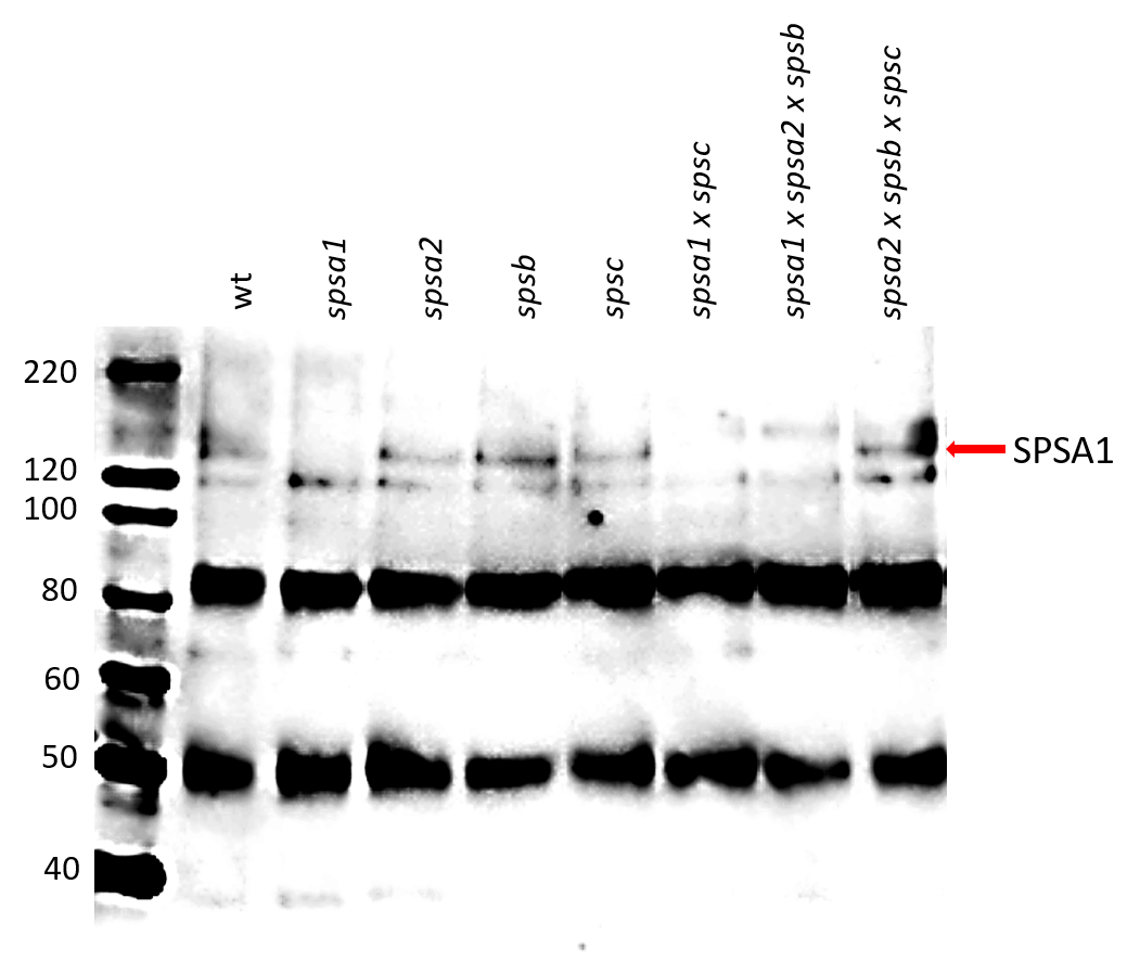 Western blot using anti-SPSA1 antibody
