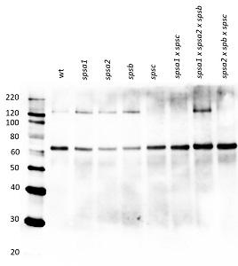 Western blot using anti-SPSC antibody