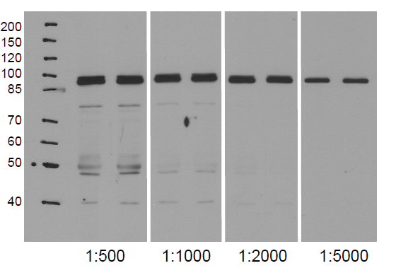 western blot using anti-NodGS antibodies