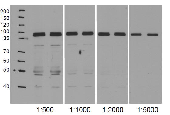 western blot using anti-NodGS antibodies