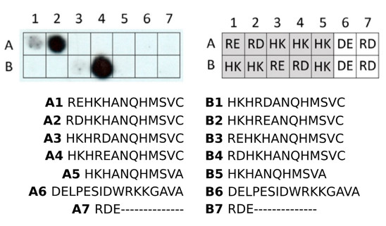 dot blot using anti-RD | N-terminal arginylation antibodies