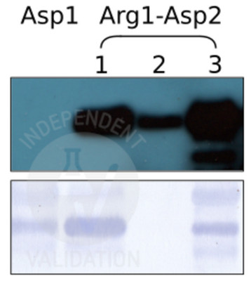 SPOT assay with anti-Arg-RD21 antibody