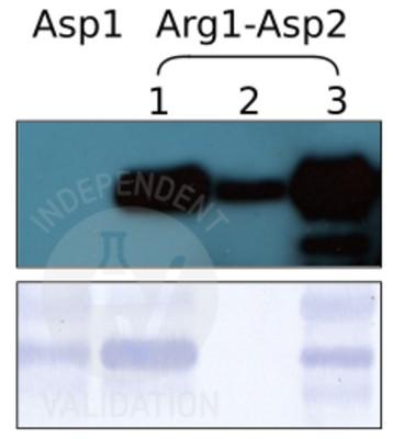 SPOT assay with anti-Arg-RD21 antibody