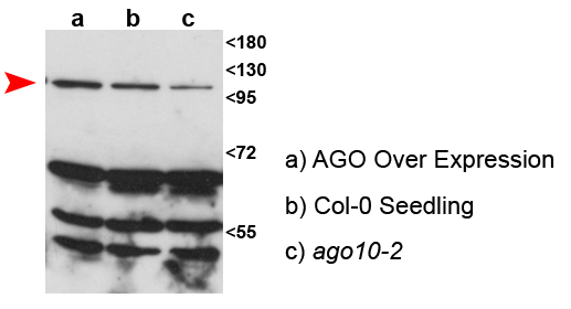 western blot using anti-AGO10 antibodies