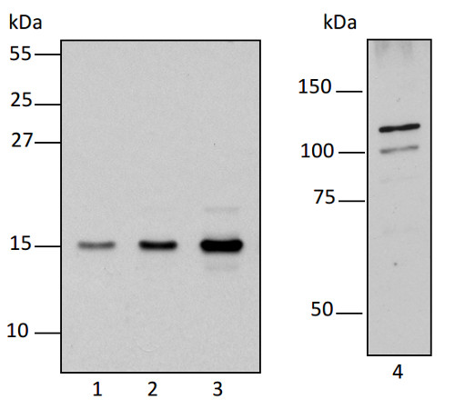 western blot using anti-RPOTm antibodies