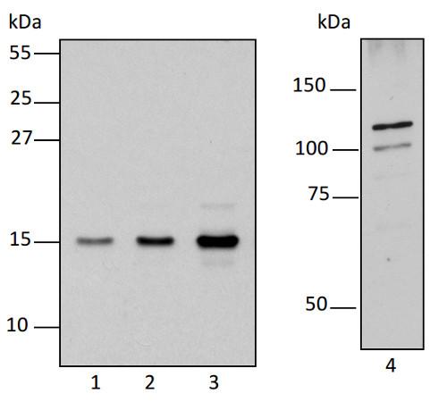 western blot using anti-RPOTm antibodies