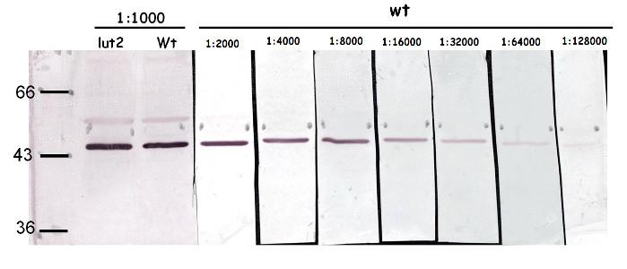 western blot using anti-LCY | lycopene beta-cyclase (chloroplastic)  antibodies