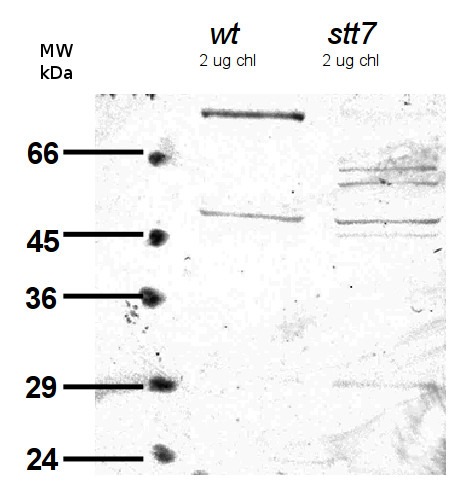western blot using anti-STT7 antibodies