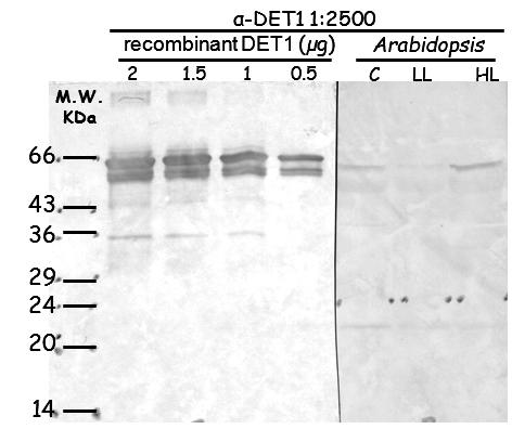western blot using anti-DET1 antibodies