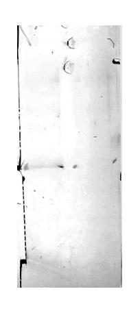 western blot using anti-LUT1 antibodies