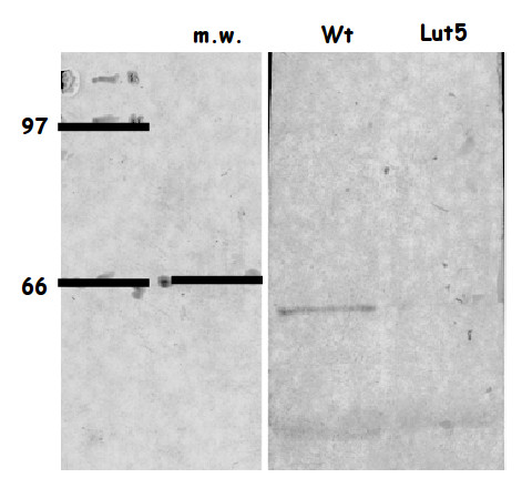 western blot using anti-LUT5 antibodies