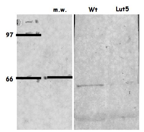 western blot using anti-LUT5 antibodies