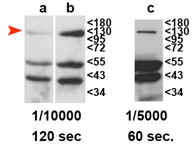 western blot using anti-RDR2 antibodies