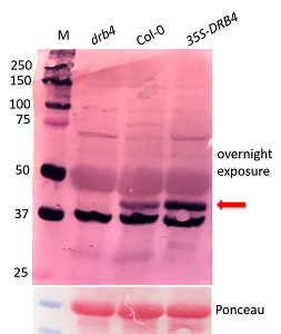 Western Blot with anti-DRB4 antibody