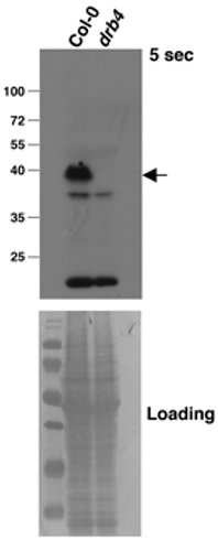 Western blot using anti-DRB4 antibody -2