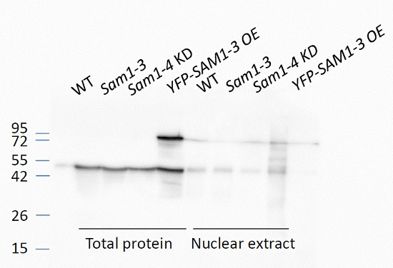 western blot using anti-Sam1-4 antibodies