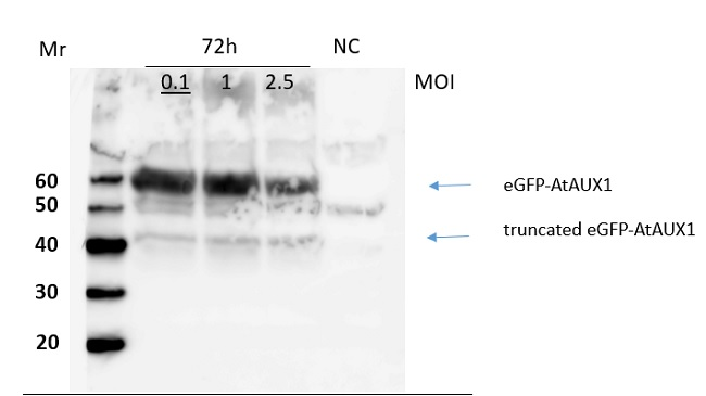 Western blot using anti-AUX1 antibodies