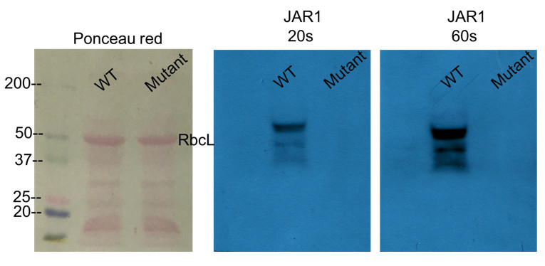 Western blot using anti-JAR1 antibodies