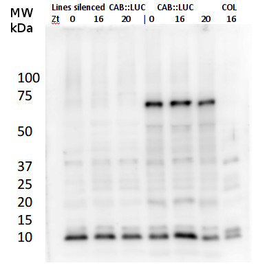 Western blot using anti-LUC antibodies