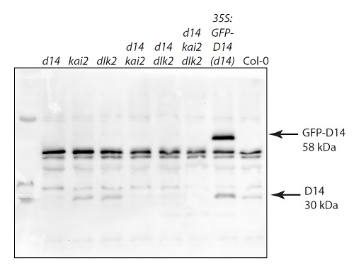 Western blot using anti-D14 antibodies