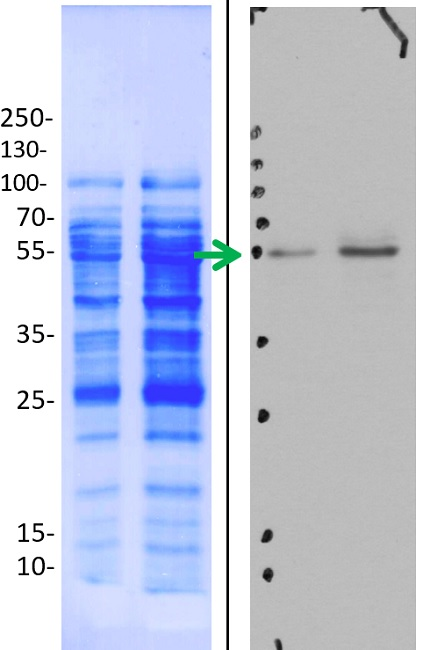 western blot using anti-ATPase subunit beta, mitochondrial, plant antibody