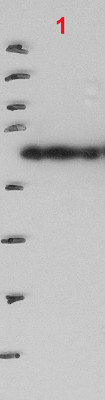 Western blot using anti-PELOTA antibodies