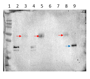 Western blot using anti-LFY antibodies