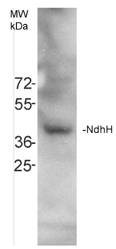 Western blot using anti-NdhH antibodies on Arabidopsis thaliana