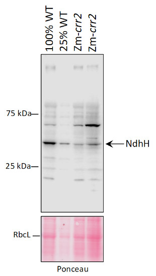 Western blot using anti-NdhH antibodies