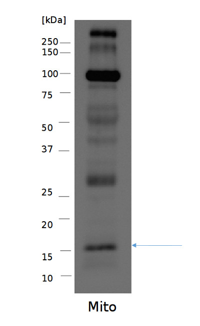 Western blot using anti-S14 antibodies