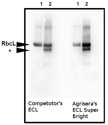 Western blot detection using Agrisera ECLSuperBright reagent