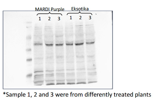 western blot using anti-C protease 2 antibodies